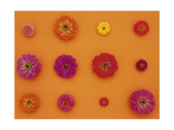 Pinks and Reds on Taffy Orange, Zinnia Family Posters