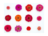 Pinks and Reds on White, Zinnia Family Posters