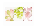 Pink Dogwood Flowers II Poster