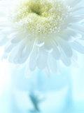White Anemone Dahlia I Posters