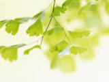 Ginkgo Breeze Photo