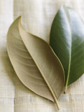 Magnolia Leaves I Posters