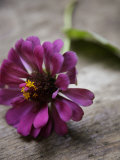 Purple Zinnia Photographie