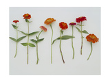 Zinnia Row on White Photo