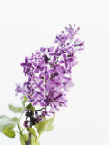 Lilac Beauty Photo