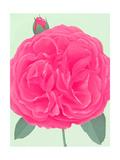 Wild Pink Rose Photo