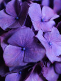 Purple Hydrangea Close-up Photo