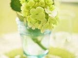 Hydrangea Springtime Photo