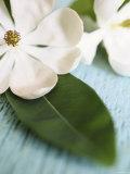 Open Magnolia Flower Print
