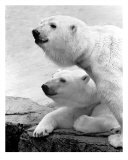 2 Bear Heads Photographic Print by BuffaloWorks