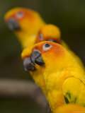 Closeup of Five Captive Sun Parakeets Stampa fotografica di Tim Laman