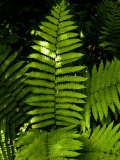 Close View of a Fern Lit by the Sun, Groton, Connecticut Photographic Print by Todd Gipstein