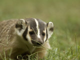 Badger at a Wildlife Rescue Member's Home in Eastern Nebraska Photographic Print by Joel Sartore
