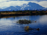 Beaver Hauls Willows to its Cache in the Shadow of Mount Mckinley, Alaska Fotografie-Druck von Michael S. Quinton