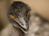 Closeup of a Captive Emu Photographic Print by Tim Laman