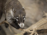 Coatimundi at the Henry Doorly Zoo, Omaha Zoo, Nebraska Photographic Print by Joel Sartore