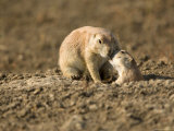Black-Tailed Prairie Dogs in Eastern Montana Photographic Print by Joel Sartore