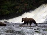 Coastal Brown Bear Fishing for Salmon Below Waterfall Photographic Print by Ralph Lee Hopkins