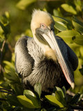 Closeup Portrait of a Brown Pelican, Sanibel Island, Florida Photographic Print by Tim Laman