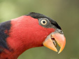 Black-Capped Lory, Captive, Native to New Guinea, Singapore Photographic Print by Tim Laman