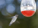 Anna's Hummingbird at a Feeder in Oak View, California Photographic Print by Rich Reid