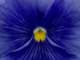 Close View of Blue Petunia, Groton, Connecticut Photographic Print by Todd Gipstein