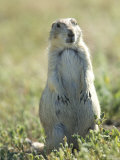 Black-Tailed Prairie Dog in Montana Photographic Print by Joel Sartore