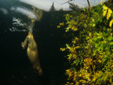 Beaver Diving near Food Cache, Alaska Photographie par Michael S. Quinton