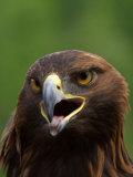 Close Portrait of a Golden Eagle, Alaska Fotografiskt tryck av Ralph Lee Hopkins