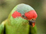 Closeup of a Musk Lorikeet, Singapore Photographic Print by Tim Laman