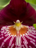 Close View of a Red Orchid, Groton, Connecticut Photographic Print by Todd Gipstein