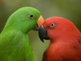 Closeup of Male and Female Eclectus Parrots, Respectively Fotografisk tryk af Tim Laman