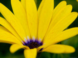 Close View of Osteospermum Hybrid, Groton, Connecticut Photographic Print by Todd Gipstein