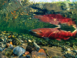 Chinook Salmon Swimming Up Spawning Stream in Copper River Basin, Alaska Fotografie-Druck von Michael S. Quinton