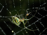 Close View of Cobweb Weaver Spider in his Dew-Covered Web, Groton, Connecticut Photographic Print by Todd Gipstein