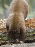 Cinnamon Black Bear in Search of Food, California Photographic Print by Rich Reid