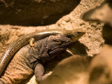 Chuckwalla Lizard and a Skink from the Henry Doorly Zoo, Omaha Zoo, Nebraska Photographic Print by Joel Sartore