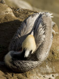 Closeup of a Brown Pelican Asleep on a Rock, California Photographic Print by Tim Laman
