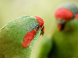 Captive Musk Lorikeet Photographic Print by Tim Laman