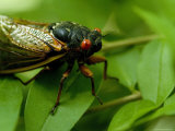 Close View of a Red-Eyed Cicada Sitting on a Leaf, Arlington, Virginia Photographic Print by Todd Gipstein