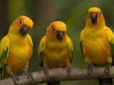 Closeup of Three Captive Sun Parakeets Stampa fotografica di Tim Laman