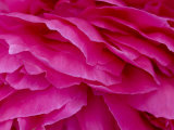 Close View of Petals of a Peony Flower, Groton, Connecticut Fotografie-Druck von Todd Gipstein