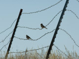 Brown-Headed Cowbirds Sit on a Wire in Eastern Montana Photographic Print by Joel Sartore
