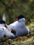 Arctic Tern Offers Fish to Day Old Chick, Alaska Fotografie-Druck von Michael S. Quinton
