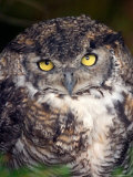 Big Yellow Eyes of the Screech Owl, Alaska Fotoprint van Ralph Lee Hopkins