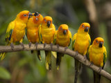 Closeup of Six Captive Sun Parakeets Photographic Print by Tim Laman