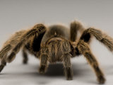 Chilean Rose Tarantula at the Lincoln Children's Zoo, Nebraska Photographic Print by Joel Sartore