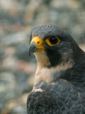 Close Portrait of a Peregrine Falcon, Alaska Photographic Print by Ralph Lee Hopkins