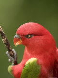 Closeup of a Chattering Lory, Singapore Photographic Print by Tim Laman