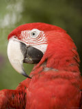 Closeup of a Captive Red-And-Green Macaw Stampa fotografica di Tim Laman